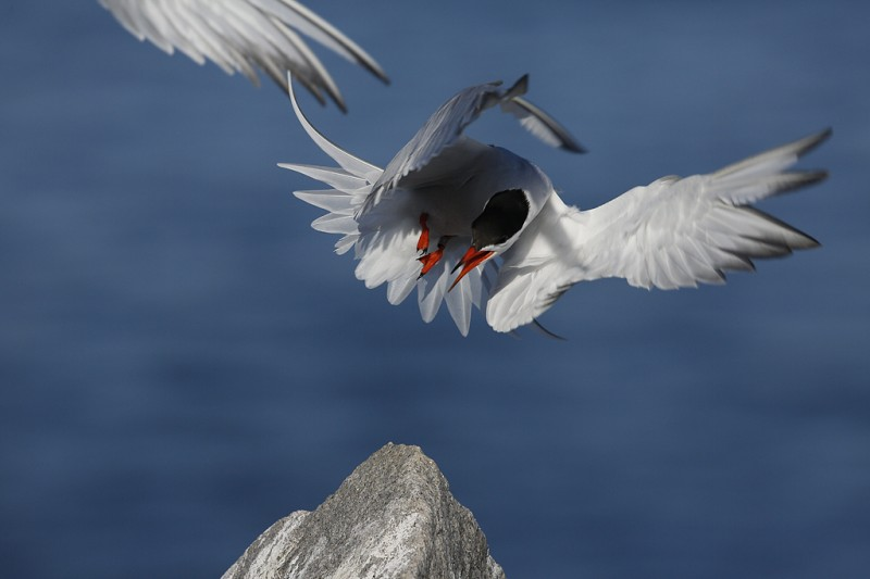 common-tern-orig-_a1c6878-great-gull-island-project-new-york