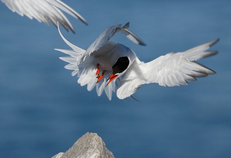 common-tern-pissed-off-jumping-off-rock-version-iii-_a1c6878-great-gull-island-project-new-york