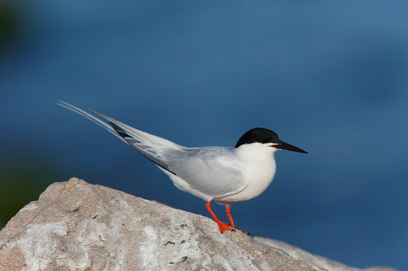 roseate-tern-breeding-plumage-3-5-surface-blur-only-_a1c6713-great-gull-island-project-new-york_0