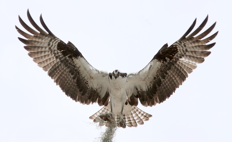 osprey-in-full-braking-flare-_mg_2572-indian-lake-estates-fl