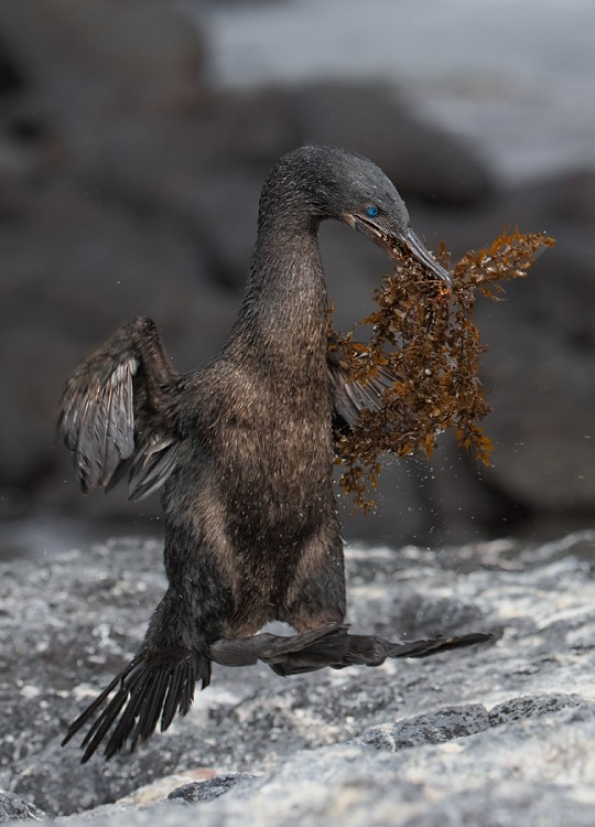 flightless-cormorant-hopping-with-seaweed-for-nest-_q8r9999-punta-espinoza-fenandina-galapagos