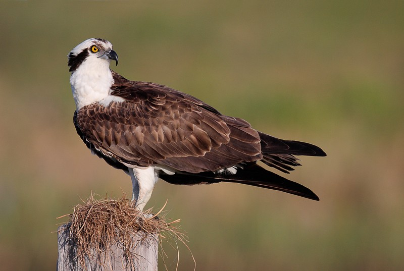 osprey-on-post-with-nesting-material-_mg_7419-indian-lake-estates-fl