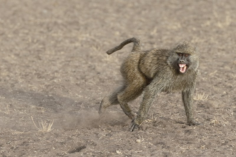 olive-baboon-screaming-_y5o1382-seronera-serengeti-tanzania-jpg