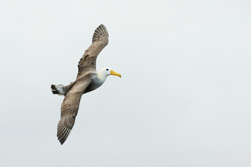 waved-albatorss-in-flight-_q8r1652-punta-suarez-hood-island-galapagos