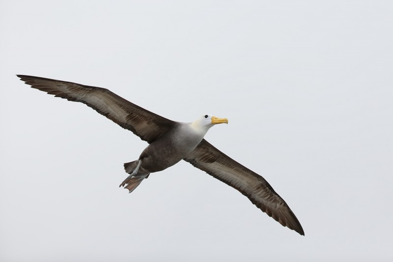 waved-albatross-in-flight-_q8r1754-punta-suarez-hood-island-galapagos