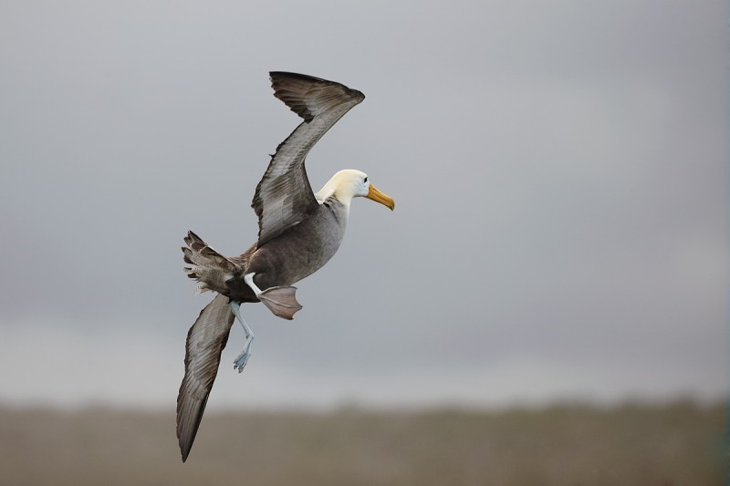waved-albatross-turning-away-in-flight-_q8r1614-punta-suarez-hood-island-galapagos
