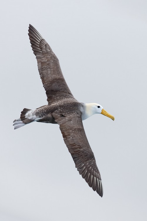 waved-albatross-vertical-flight-from-horz-orig-_q8r1657-punta-suarez-hood-island-galapagos