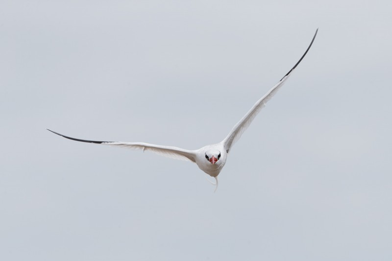 red-billed-tropicbird-in-driving-flight-_q8r2103-punta-suarez-hood-island-galapagos