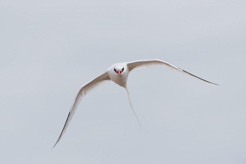 red-billed-tropicbird-in-driving-flight-_q8r2104-punta-suarez-hood-island-galapagos