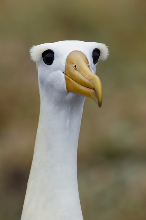 waved-albatross-showing-eye-crests-_a1c0536-punta-suarez-hood-island-galapagos