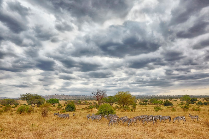 burchells-zebra-herd-with-stormy-sky-darker-_a1c2720-tarangire-national-park-tanzania