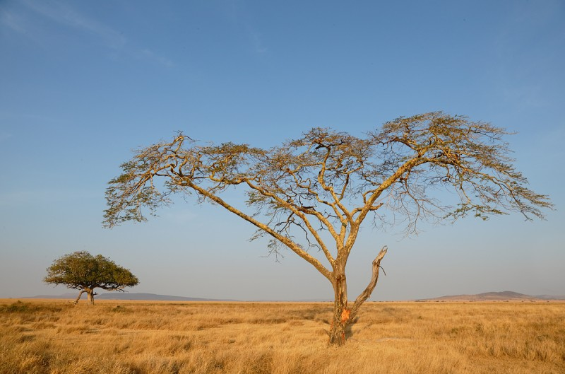 yellow-bark-acacia-tree_y5o6368-seronera-serengeti-tanzania