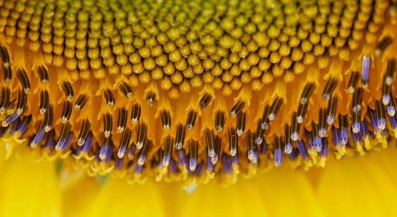 sunflower-detail-_a1c0438-sunflower-field-tualatin-or