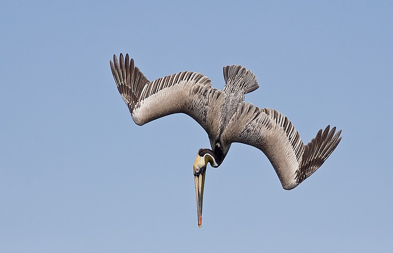 brown-pelican-mid-dive-dorsal-view-_mg_2539-alafia-banks-tampa-bay-fl2_0