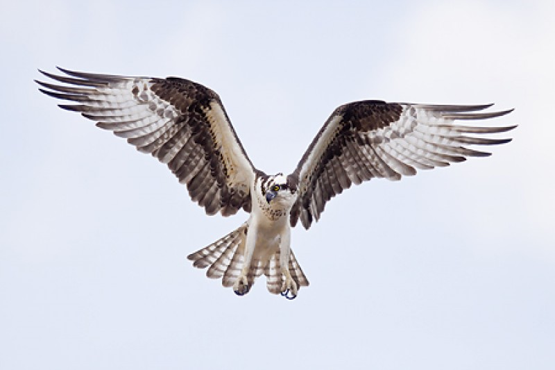 osprey-50d-iso-800-_mg_2624-indian-lake-estates-fl_0