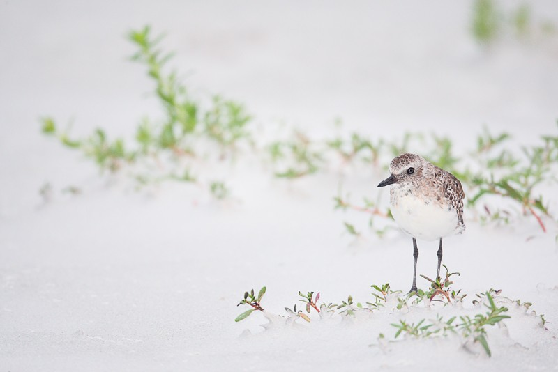 black-bellied-plover-winter-plumage-in-beach-vegetation-_d4i2760-fort-desoto-park-tierra-verde-fl