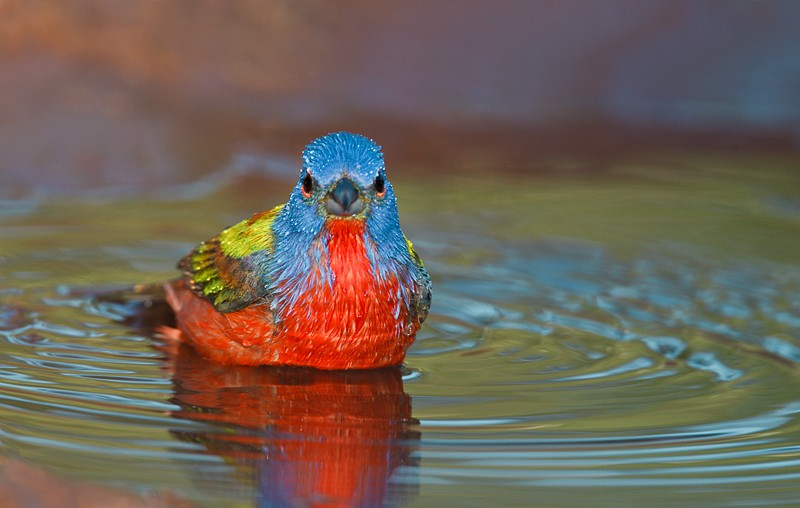 painted-bunting-soaking-after-bath-_w3c5356-cozad-ranch-linn-tx