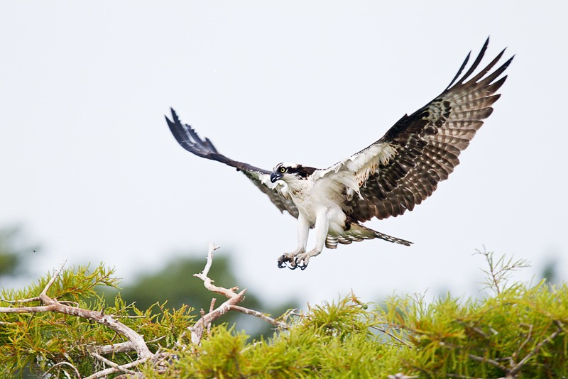 osprey-landing-_y9c4913-lake-blue-cypress-indian-river-county-fl