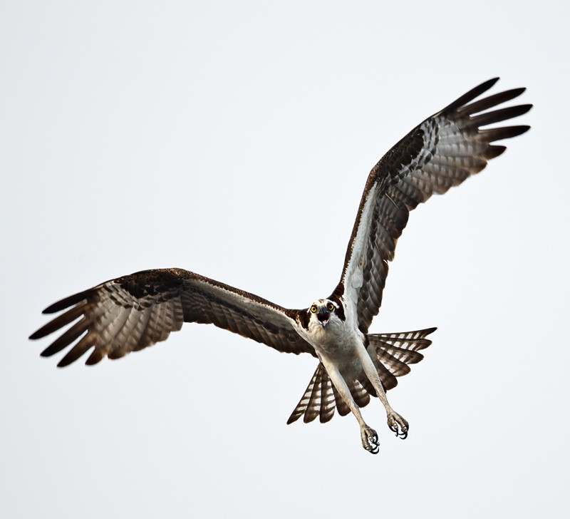 osprey-screaming-with-feet-down-_w3c7939-lake-blue-cypress-indian-river-county-fl
