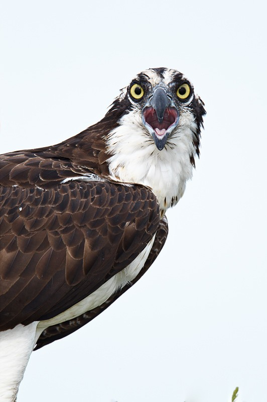 osprey-screaming-adult-vert-_w3c8046-lake-blue-cypress-indian-river-county-fl