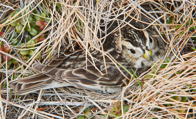 laplaong-longspur-female-on-nest-_w3c3970-barrow-ak