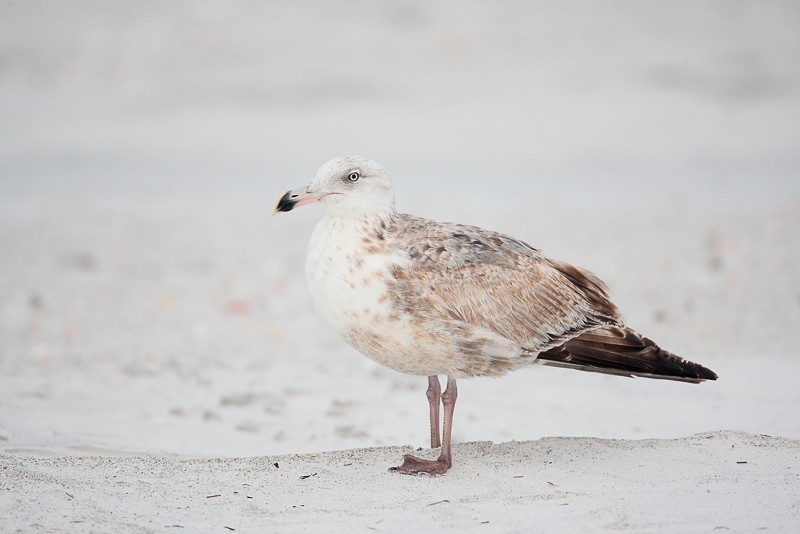 herring-gull-worn-first-winter-better-head-angle-_d4i2766-fort-desoto-park-tierra-verde-fl