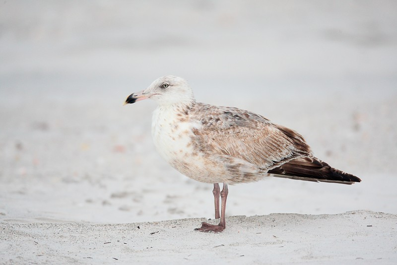 herring-gull-worn-first-winter-not-so-great-head-angle-_d4i2765-fort-desoto-park-tierra-verde-fl