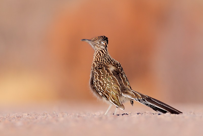 greater-roadrunner-on-road-_mg_0389-socorro-nm1