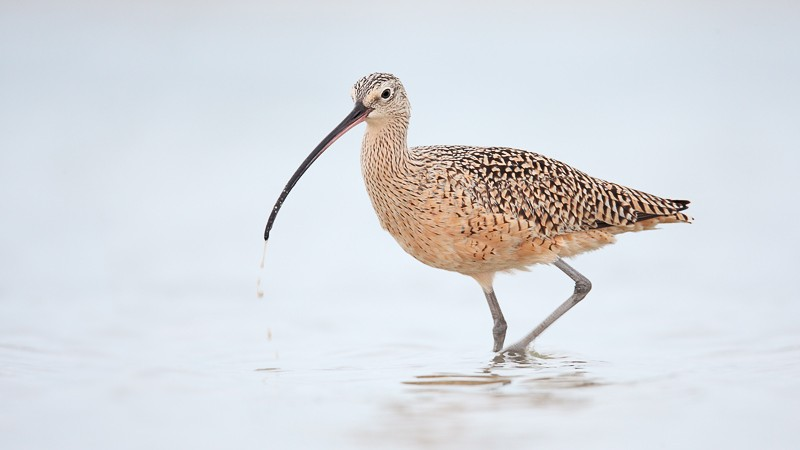 long-billed-curlew-bill-dripping-_d4i2438-fort-desoto-park-tierra-verde-fl