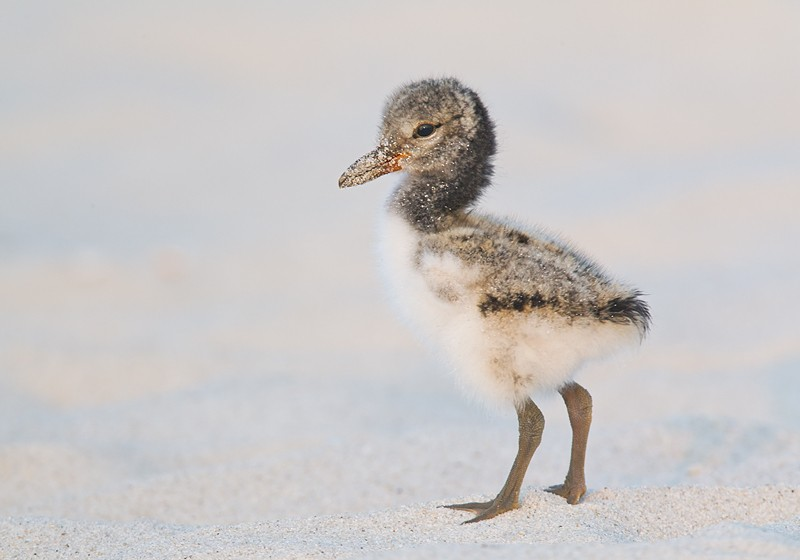 american-oystercatcher-one-week-old-_w3c4288-nickerson-beach-lido-beach-li-ny