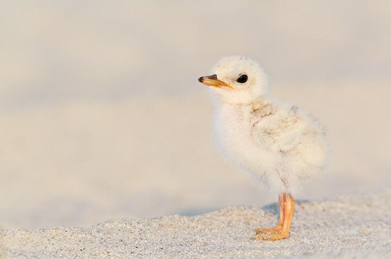 least-tern-chick-_w3c4452-nickerson-beach-lido-beach-li-ny