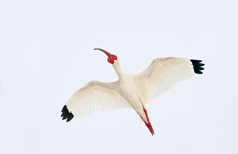 white-ibis-flash-flight-from-below-_d4i1882-alafia-banks-tampa-bay-fl