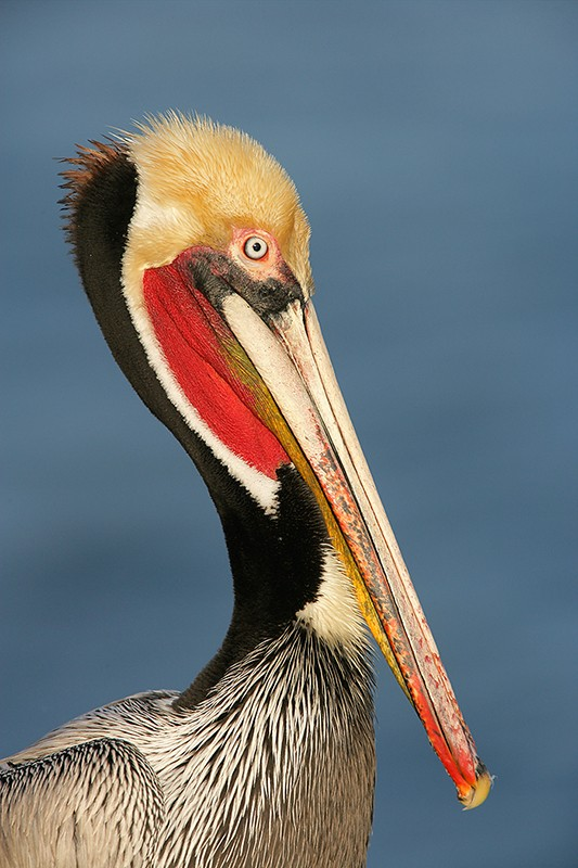 brown-pelican-stunning-breeding-plumage-head-shldrs-_l8x9772-lajolla-ca