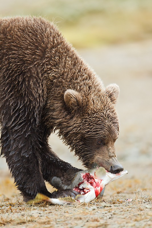 brown-bear-biting-salmon-brain-_w3c6145-kinak-bay-katmai-national-park-ak