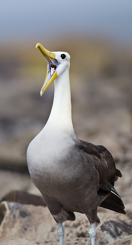 waved-albatross-bill-clacking-dance-_w3c1132-punta-suarez-hood-island-galapagos