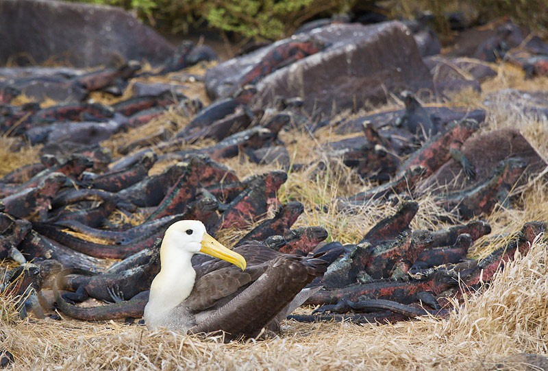 waved-albatross-lighter-with-marine-igaunas-_w3c0970-punta-suarez-hood-island-galapagos
