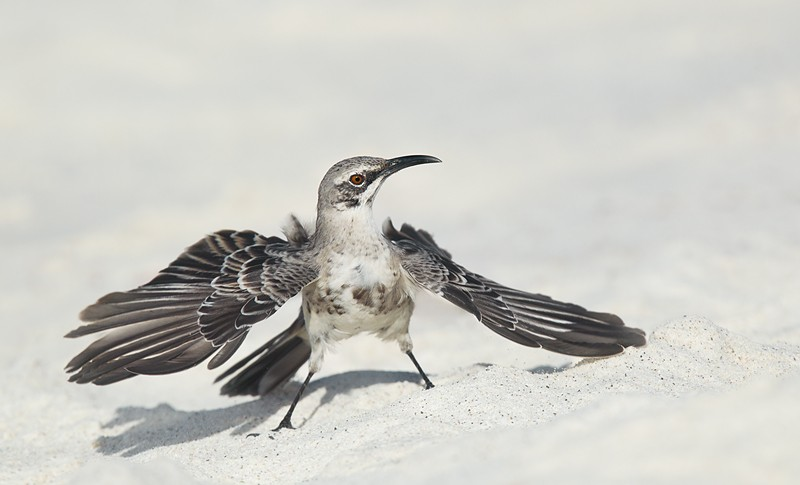 hood-mockingbird-threat-posture-robt_w3c1366-punta-suarez-hood-island-galapagos