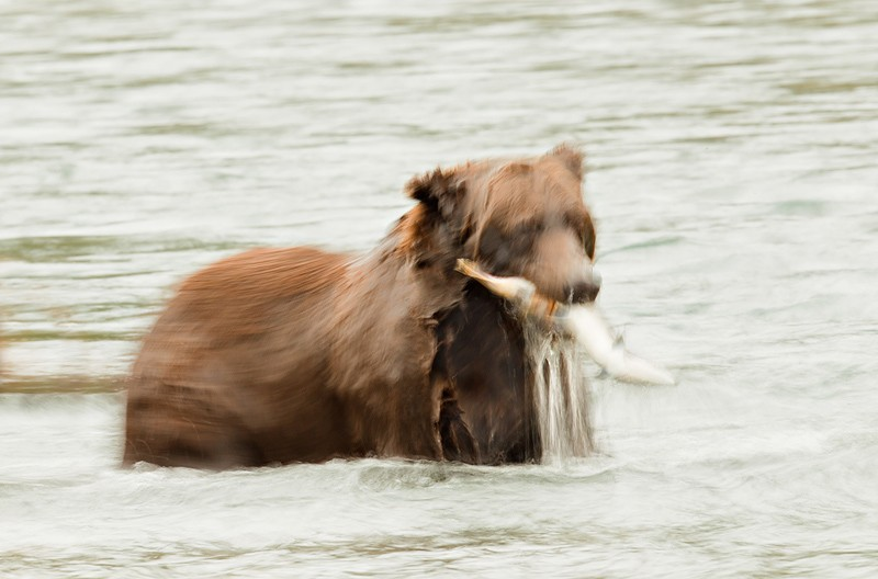 brown-bear-with-fresh-caugth-salmon-blur1-4-sec-_w3c5560-geographic-harbor-katmai-national-park-ak