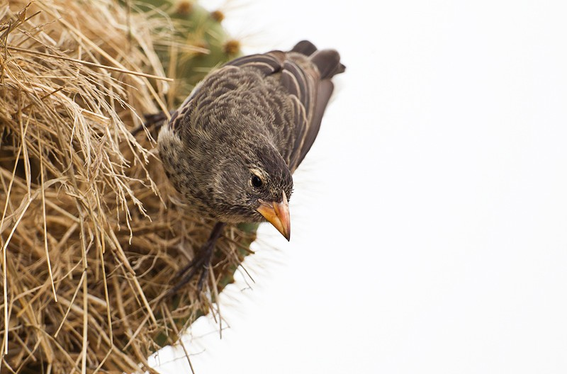 cactus-finch-female-at-nest-_w3c8692-sante-fe-island-galapagos