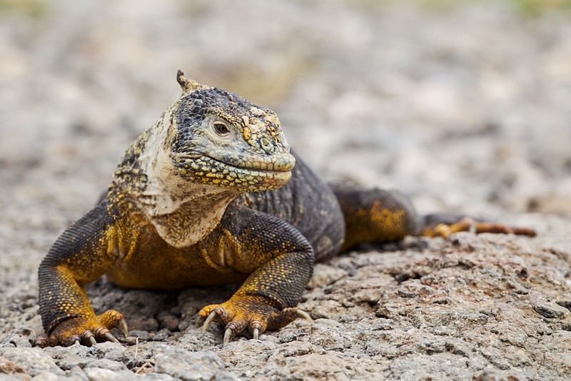 land-iguana-looking-robt_w3c8839-south-plaza-island-galapagos