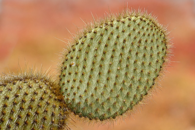 prickly-pear-cactus-paddles-robt_w3c8844-south-plaza-island-galapagos