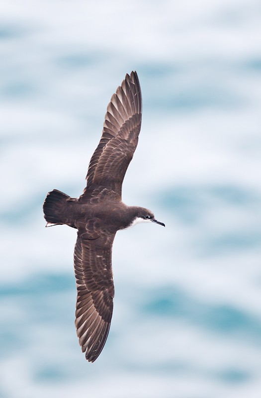 galapagos-shearwater-formerly-a-race-of-audubons-shearwater-_y9c0141-south-plaza-island-galapagos