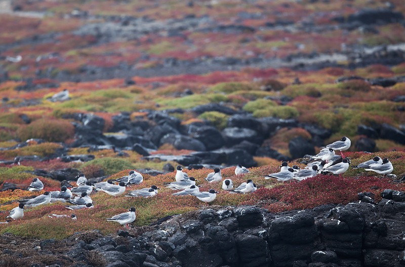 swallow-tailed-gull-flock-roosting-_w3c9148-south-plaza-island-galapagos