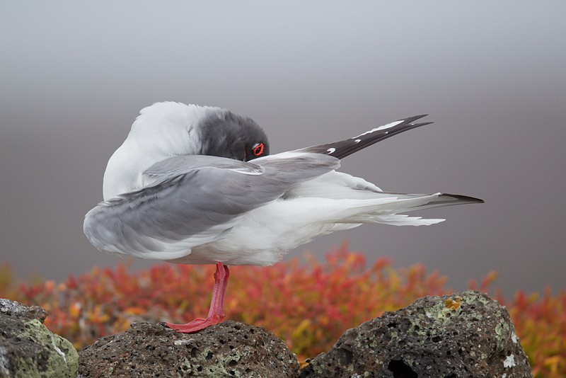 swallow-tailed-gull-preening-on-cliff-edge-robt_w3c9179-south-plaza-island-galapagos