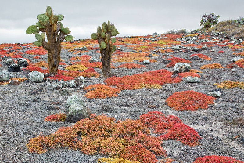 cactus-and-vegetation-edge-clean-up-contrast-_w3c9203-south-plaza-island-galapagos