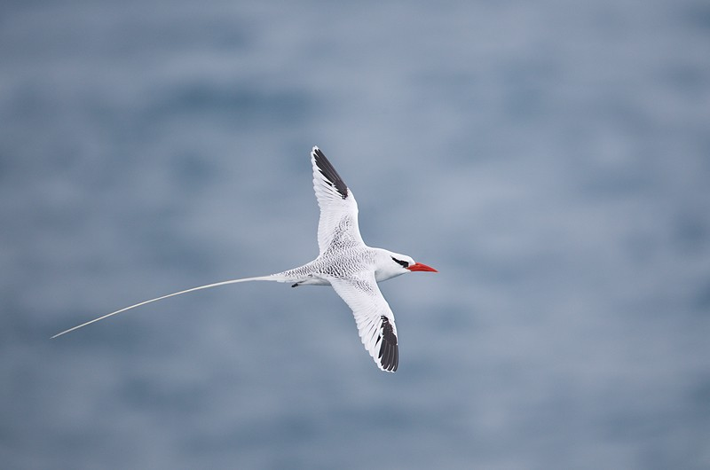 red-billed-tropicbird-in-flight-robt_w3c8914-south-plaza-island-galapagos