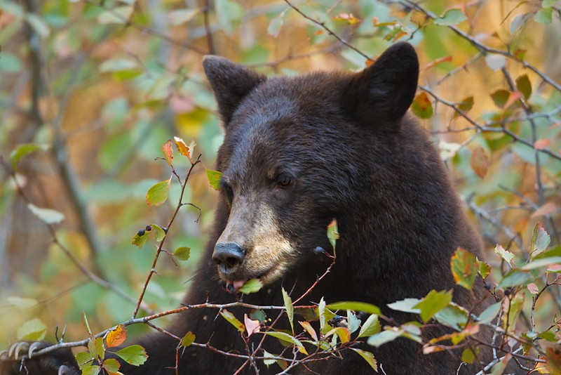 black-bear-eating-berries-_w3c8203-grand-teton-national-park-wy