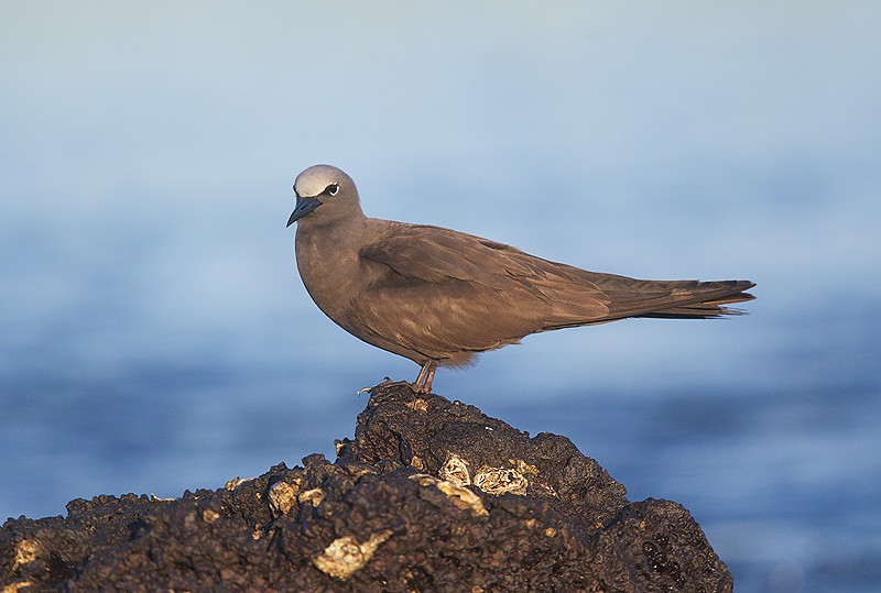brown-noddy-perched-on-rock-robt_w3c9712black-turtle-cove-santa-cruz-galapagos