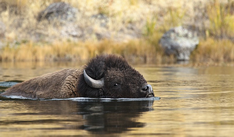 bison-swimming-across-madison-river-_y9c6297yellowstone-national-park-wy