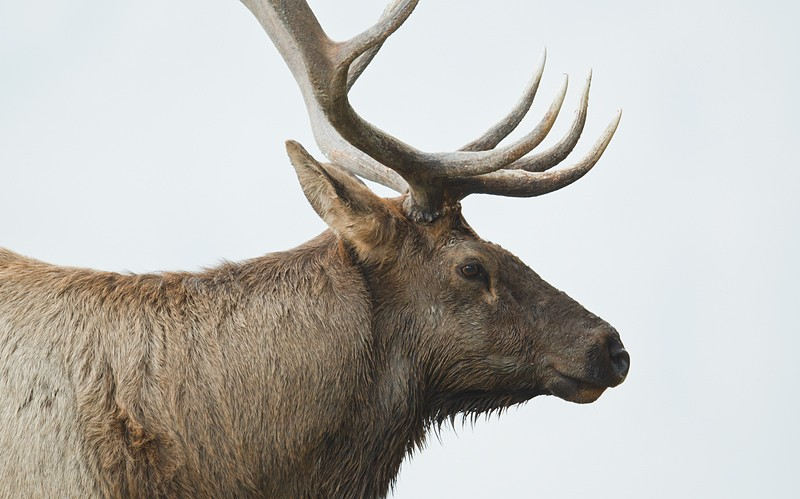 elk-bull-tight-head-portrait-_w3c8450-yellowstone-national-park-wy